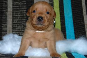 Labrador Welpe ''Curry'' Foxred