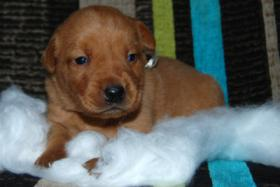 Foto 2 Labrador Welpe ''Curry'' Foxred