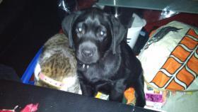 Labrador Welpe sucht liebevolles Zuhause