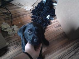 Foto 2 Labrador Welpe sucht liebevolles Zuhause