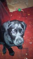 Foto 3 Labrador Welpe sucht liebevolles Zuhause
