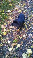 Foto 4 Labrador Welpe sucht liebevolles Zuhause