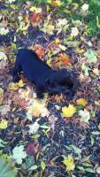 Foto 5 Labrador Welpe sucht liebevolles Zuhause