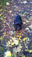 Foto 6 Labrador Welpe sucht liebevolles Zuhause