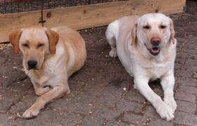 Foto 4 Labrador-Welpen