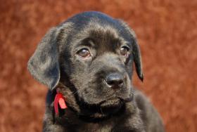 Foto 3 Labrador Welpen aus dem Hundeparadies im Salzkammergut