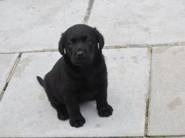 Foto 18 Labrador Welpen aus Österreichischer Familienzucht