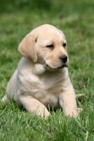 Foto 2 Labrador Welpen Rüden aus LCD Zucht seit 2005