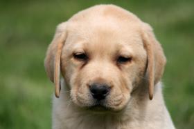 Foto 3 Labrador Welpen Rüden aus LCD Zucht seit 2005