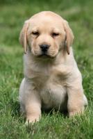 Foto 4 Labrador Welpen Rüden aus LCD Zucht seit 2005