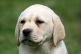 Foto 5 Labrador Welpen Rüden aus LCD Zucht seit 2005