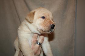 Foto 3 Labrador Welpen vom Züchter