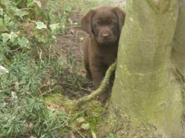 Labrador-Welpen in allen Farben aus Familienzucht !
