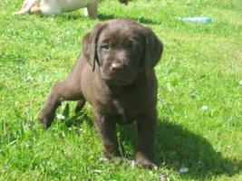 Foto 5 Labrador-Welpen in allen Farben aus Familienzucht !