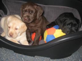 Foto 6 Labrador-Welpen in allen Farben aus Familienzucht !