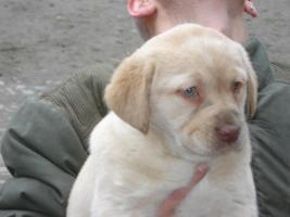 Labrador Welpen in braun und blond