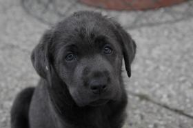 Foto 2 Labrador Welpen ind silber und charcoal ab sofort abzugeben!