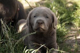 Foto 3 Labrador Welpen ind silber und charcoal ab sofort abzugeben!