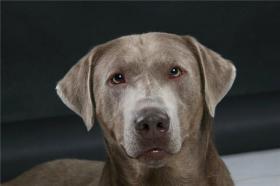 Labrador Welpen in lackschwarz, unser ''Silver'' ist wieder Papa geworden...