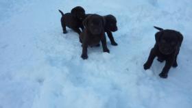 Labrador Welpen schokobraun aus Österreichischer Familienzucht