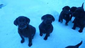 Foto 5 Labrador Welpen schokobraun aus Österreichischer Familienzucht