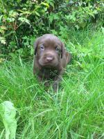 Labrador Welpen schokobraun und schwarz sind Umzugsbereit !