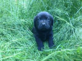Foto 2 Labrador Welpen schokobraun und schwarz sind Umzugsbereit !