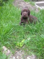 Foto 3 Labrador Welpen schokobraun und schwarz sind Umzugsbereit !