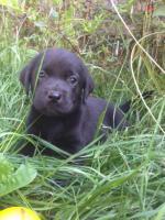 Foto 4 Labrador Welpen schokobraun und schwarz sind Umzugsbereit !
