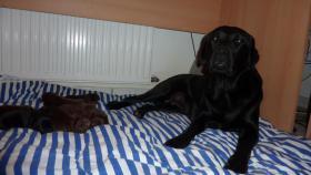 Labrador Welpen schokobraun und schwarz suchen Mitte Dez. neues zuhause