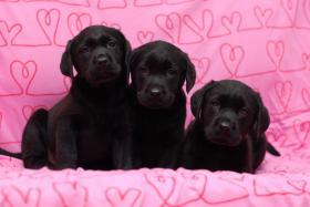Labrador Welpen schokobraun aus top Verpaarung