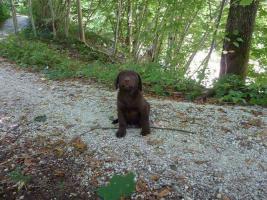 Foto 3 Labrador Welpen schokobraun  suchen ab Ende Mai neues zu Hause
