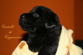 Foto 2 Labrador Welpen zu vergeben