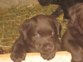 Labrador Welpen zu verkaufen