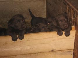 Foto 2 Labrador Welpen zu verkaufen