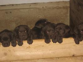 Foto 3 Labrador Welpen zu verkaufen