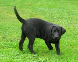Foto 5 Labrador-Welpen - HD freie Linie