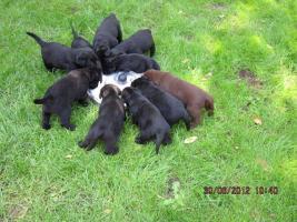 Foto 8 Labrador Welpen  aus dem Salzkammergut