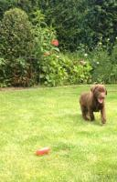 Labrador Welpen, schokobraun