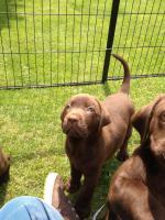 Foto 3 Labrador Welpen, schokobraun