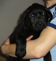 Labrador Welpen, süße Labrador Welpen suchen neue Besitzer