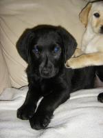 Foto 3 Labrador Welpen, süße Labrador Welpen suchen neue Besitzer