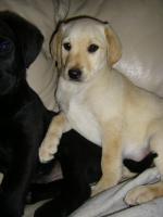 Foto 4 Labrador Welpen, süße Labrador Welpen suchen neue Besitzer