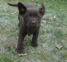 Labrador retriever papiere FCI