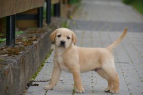 Foto 7 Labrador welpen