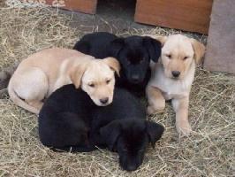 Labrador, Labrador Retriever