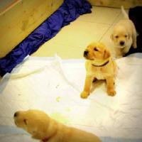 Foto 3 Labrador, Labrador Retriever