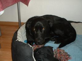 Labrador -Mischling