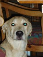 Foto 2 Labradormischlingshündin Luna, 5 Monate, kurzhaar