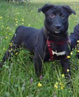 Foto 2 Labradormischlingsweibchen